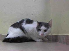 TO BE DESTROYED 4/14/14 Brooklyn Center  My name is ELMA. My Animal ID # is A0995479. I am a female white and blue domestic sh. The shelter thinks I am about 2 YEARS  OWNER SUR on 04/02/2014 from NY 11208 MOVE2PRIVA https://www.facebook.com/nycurgentcats/photos/pb.220724831278845.-2207520000.1397478992./772655832752406/?type=3&src=https%3A%2F%2Ffbcdn-sphotos-c-a.akamaihd.net%2Fhphotos-ak-ash3%2Ft1.0-9%2F10156131_772655832752406_5151577203821111363_n.jpg&size=640%2C480&fbid=772655832752406