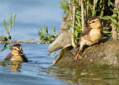 Here are some Mallard Ducklings. This was taken in Foster City Calif  Christopher Montano