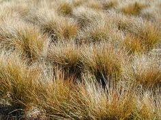 Stipa arundinacea Rogers Gardens, Gravel Garden, Ornamental Grasses, Garden Spaces, Pheasant, Backyard, Garden Ideas, Plants, Patio
