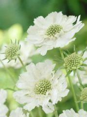 Hlaváč kaukazský ´ALBA´ - E-shop - LUMIGREEN.sk - Váš obľúbený internetový obchod s rastlinami