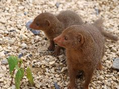 Mongoose - Chester Zoo