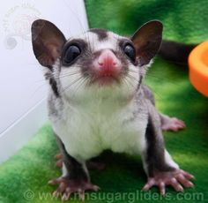Classic Grey sugar glider joey and one of our currently available joeys here at NH Sugar Gliders.