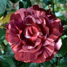 RP: Brownie Meilland - Red Striped Climbing Roses