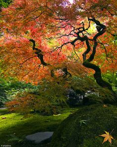 Japanese Red Maple (Acer Palmatum) at Japanese Garden, Portland, OR ...ahp_ibanez's photostream. thingofinterest@pinterest, One of my very favorite small trees. The Bloodgood is for sunny spots and the cutleaf var. (Like this one) is for Partial shade.