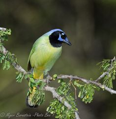 Green jay; didn't know such a bird existed, but a beauty