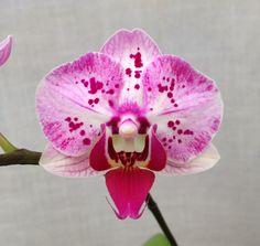 Moth-orchid: Phalaenopsis Formosa Berry (Ho's Little Caroline x Happy Mark) - Flickr - Photo Sharing!