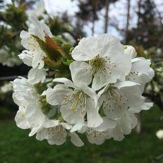 Cherry blossoms #flowers #gardening #homegrown #westcoastliving #spring