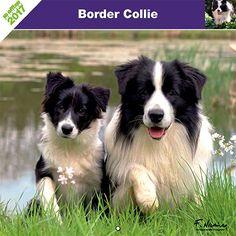 Calendrier chien 2017 - Race Border Collie - Affixe Edition