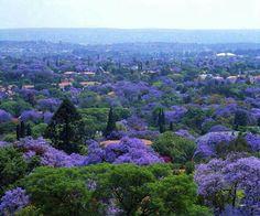Ciudad de Mexico,  Jacarandas en su máximo esplendor