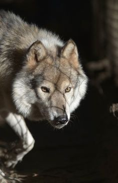 Wolf in rescue.