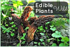 Eat Wild Edibles! They're free, delicious, and they're ALL OVER the place.