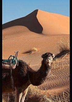 camel close up in the Sahara Desert at Erg Chigaga, Morocco Available to book via www.fullcircletravel.co.uk