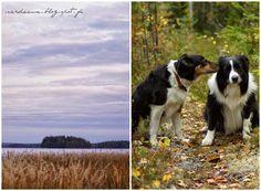 Sardeaux: Ystävyys - Friendship #bordercollie #dog