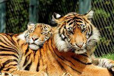 Tigers IMG_5584-1   by fridayschild68