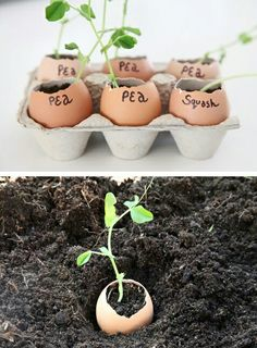 Get your garden started early by planting your seeds in eggshells indoors before the weather permits outdoor growth. They are full of calcium to give your seedlings that extra boost, and easy to plant in the garden when ready (the shell can stay on! Diy Garden, Dream Garden, Herb Garden, Garden Projects, Garden Plants, Garden Landscaping, Garden Beds, Garden Shop, Landscaping Design