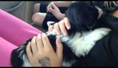 My new puppy! Shih tzu puppy! Paisley