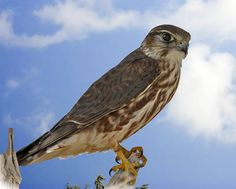 3591. Merlin (Falco columbarius) | from the Northern Hemisphere, with numerous subspecies throughout North America and Eurasia; breeds in the northern Holarctic; some migrate to subtropical and northern tropical regions in winter