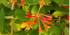 Trumpet Honeysuckle  (Lonicera sempervirens 'Magnifica'