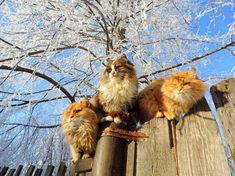 Photos of these Siberian beauties went around the Internet. People all over the world admire this Siberian cats, which delightfully combine with each other. Snow and huge fluffy cats - what could be better? Siberian Forest Cat, Siberian Cat, Cat Farm, Huge Cat, Cat Enclosure, Reptile Enclosure, Norwegian Forest Cat, French Bulldog Puppies, Fluffy Cat