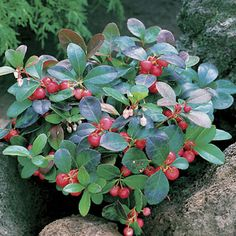 Creeping Wintergreen Offers Year-Round Appeal