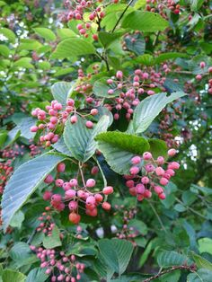 The red berries of Sorbus alnifolia from Korea, covered in a white bloom, giving them a pink appearance.