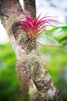 Bromeliad epiphytes hold all sorts of treasures in the rain forest, like water and immature aquatic insects. Will we find a tarantula hiding in the spiky leaves? Unusual Plants, Rare Plants, Exotic Plants, Tropical Plants, Succulent Bonsai, Succulents, Aquatic Insects, Rainforest Theme, Epiphyte