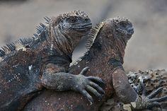 Marine Iguanas, La Fe Island, Galapagos Islands, Ecuador