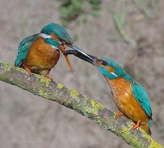 Visoverdracht IJsvogels  (Van vroegevogels)