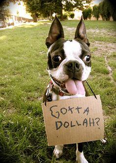 Boston terrier needs money