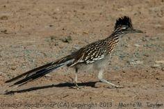 images of roadrunner bird - Bing Images Greater Roadrunner, Cow Photos, Road Runner, Prehistoric, Beautiful Birds, Bird Feeders, Mammals, Creatures, Bing Images
