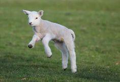 A frolicking lamb