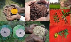 Validated and Potential Medicinal Rice Formulations for High Blood Pressure (Hypertension) with Diabetes mellitus Type 2 (डायबीटीज या मधुमेह) Complications (TH Group-352 special) from Pankaj Oudhia's Medicinal Plant Database