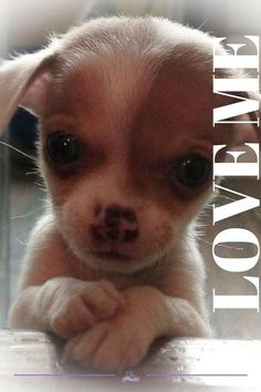 For more cute Chihuahuas and sweet #chihuahua puppies visit Us