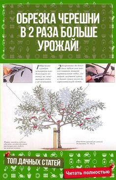 ОБРЕЗКА ЧЕРЕШНИ ПО СИСТЕМЕ СТОП-ЛИДЕР: В 2 РАЗА БОЛЬШЕ УРОЖАЙ! #сад #огород #дача #растения