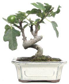 Name: Ficus carica Age: ca. 7 years Height: ca. 17 cm www. Bonsai Ficus, Bonsai Plants, Bonsai Trees, Fruit Garden, Garden Plants, Bonsai Tree Types, Mini Bonsai, Fig Tree, Fruit Trees