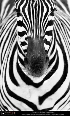 #zebre #Zebra #by © Juan Luis Duran -  http://www.fineart-portugal.com/photo/11575/zebra_lines