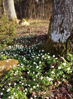 Frühlingsblumen in Schweden