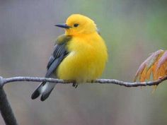Prothonotary Warbler  Point Pelee - Canada