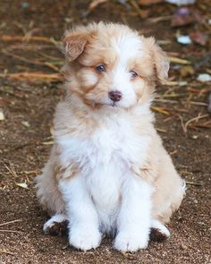 Red merle blue eyed Aussiedoodle puppy