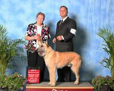 The Belgian Laekenois is the rarest of the four varieties of the Belgian sheepdogs. The dogs are the Belgian Laekenois, Belgian Groenendael, Belgian Malinois, and the Belgian Tervuren. All of the dogs share a common foundation. In most countries and breed clubs all four dogs are considered the same breed with different varieties in coat types.