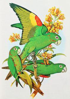 Colourful Parrots, Green & Red Conure. 1970s Vintage Parrot Print, Tropical Bird Print