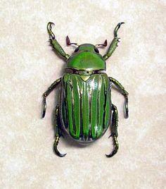 Green Metallic Silver Beetle Chrysina Gloriosa