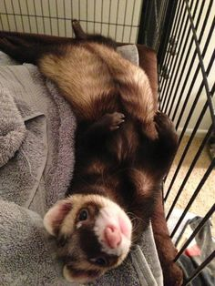 Baby Ferrets, Funny Ferrets, Pet Ferret, Baby Sloth, Super Cute Animals, Cute Little Animals, Cute Funny Animals, Cute Dogs, Long Cat