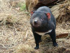 Tasmanian Devil! #travel #Australia #Tasmania