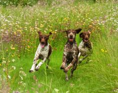 Just Looking Jude German Shorthaired Pointer by GeorgeandTrigger