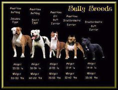 Uplifting So You Want A American Pit Bull Terrier Ideas. Fabulous So You Want A American Pit Bull Terrier Ideas. American Bully, Johnson American Bulldog, American Bulldogs, Johnson Bulldog, American Bulldog Scott, American Bulldog Puppies, Pitbull Terrier, Terrier Mix, Pitbulls