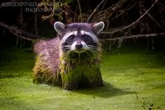 """This raccoon was hunting in the mucky water by using its front claws to scrape the bottom.  Taken Aug. 8, 2012, at the Ridgefield NWR.  This picture was selected for publishing in the Clark County, WA., book, """"Clark County and Southwest Washington."""""""