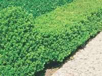 Lowes Plant Guide- Wintergreen Boxwood (side garden outside dining room)