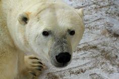 Polar Bears In My Window - Wanderlust and Lipstick Calm Air, Wildlife Biologist, First Story, Polar Bears, Churchill, Arctic, Dean, Blood, Fiber