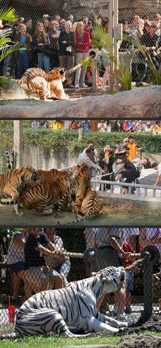 Tiger Tug-O-War! Zoo Gives Visitors The Chance To Test Their Strength Against Big Cats.